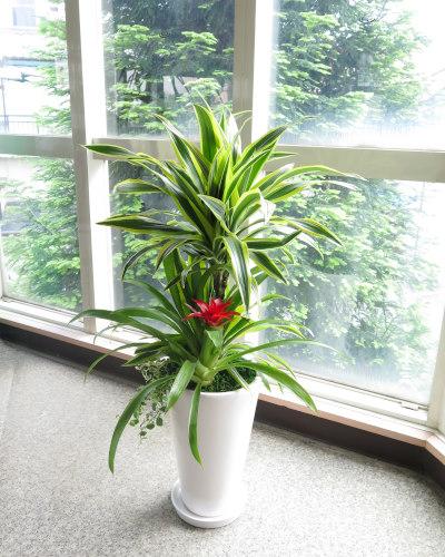 0204観葉植物ギフト まぶしい輝き!ドラセナレモンライム