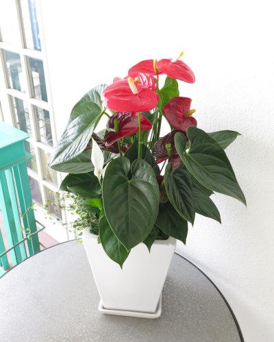 0124観葉植物ギフト~華やかなアンスリューム(赤)寄せ植え~