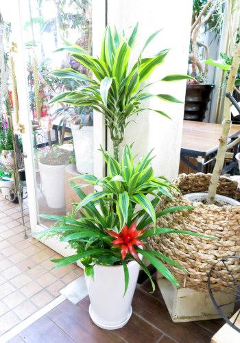 0045観葉植物ギフト ドラセナレモンライム華やかな寄せ植え(大きいサイズ)【大型商品】
