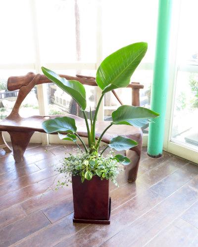 0202観葉植物ギフト オーガスタとおしゃれなウッディ鉢