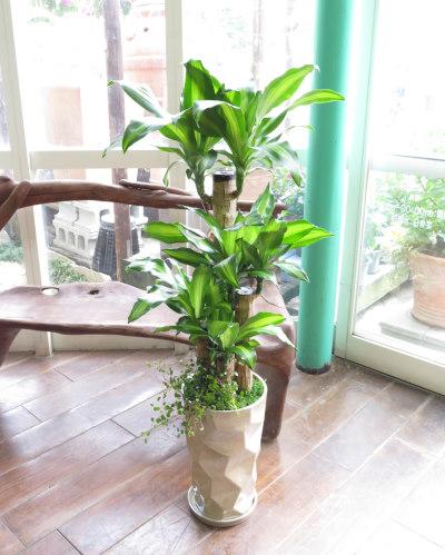 0200観葉植物ギフト 幸福の木とミラーホワイト鉢
