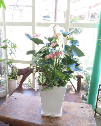 0123観葉植物ギフト~やさしい色合いのアンスリューム(ピンク)寄せ植え~