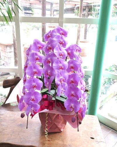 0375【送料無料】最高級コチョウラン大輪3本立ち(ピンク花)