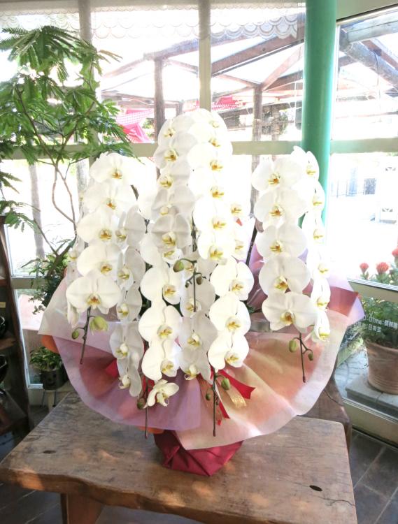 0348【大阪市内限定】最高級コチョウラン大輪5本立ち(白花)お祝い用ラッピング