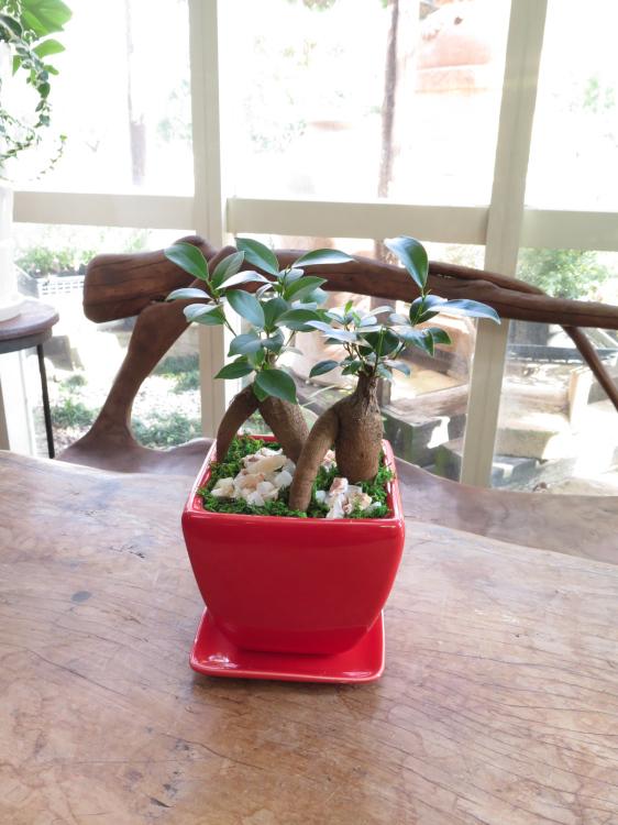 0086幸せいっぱいのダブルガジュマル◆観葉植物ギフト
