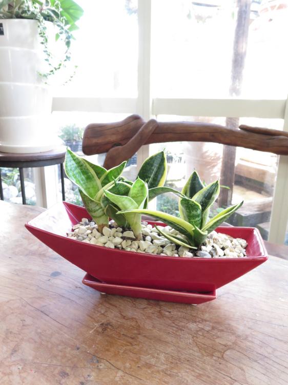 0084ダブルサンスベリアの赤いボート鉢◆観葉植物ギフト