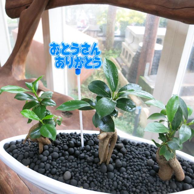 0205父の日観葉植物ギフト 縁起のよい3本立ちガジュマル