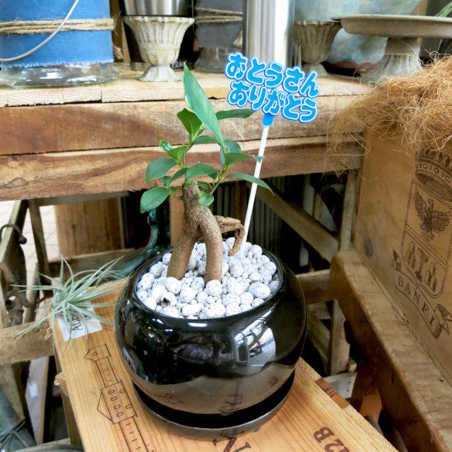 父の日観葉植物ギフト 妖精が棲む木ガジュマル(黒鉢)