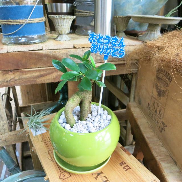父の日観葉植物ギフト 妖精が棲む木ガジュマル(グリーン鉢)
