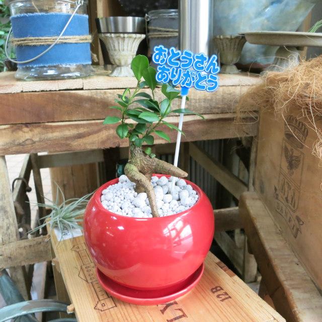 父の日観葉植物ギフト 妖精が棲む木ガジュマル(赤鉢)