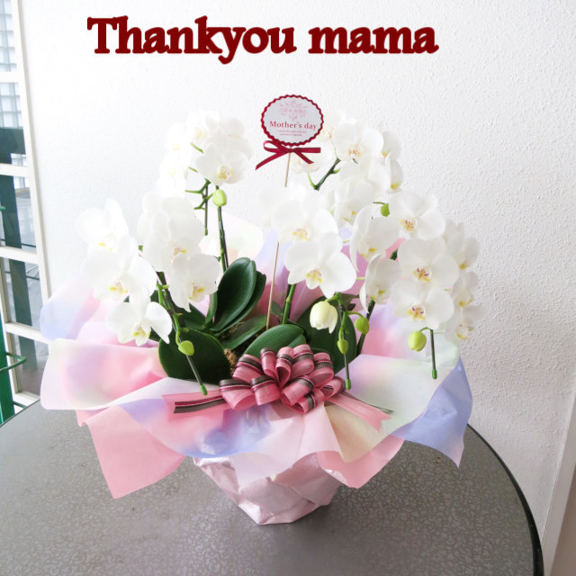 【母の日ギフト送料無料】ミニ胡蝶蘭5本立ちmd035