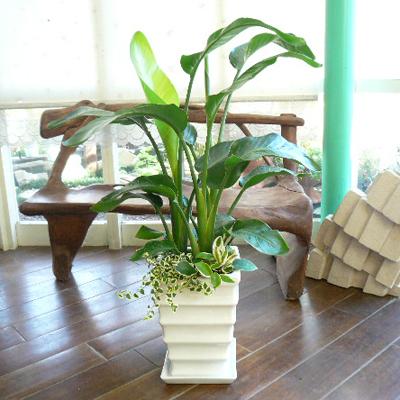 0011【送料無料でご予算ラクラク】観葉植物ギフト オーガスタとミニ観葉【大型商品】