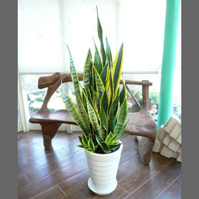 0081【送料無料でご予算ラクラク】観葉植物ギフト サンスベリア寄せ植え