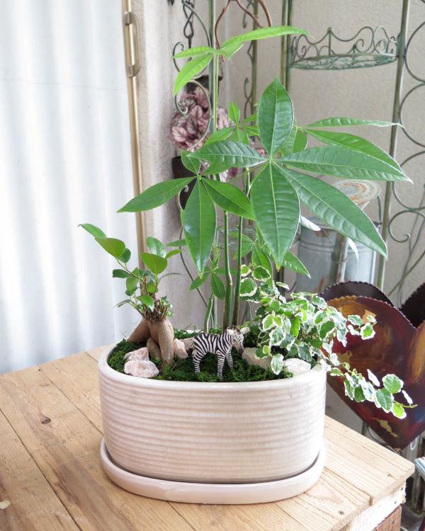 0177観葉植物ギフト サバンナガーデン・ソルシマ(シマウマ)