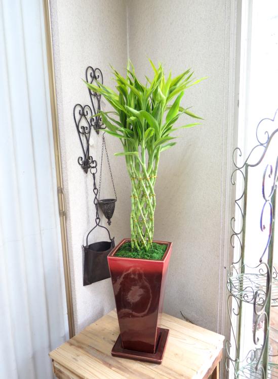 0176ミリオンバンブー 渋かっこいいレッド鉢◆観葉植物ギフト