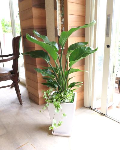 0012【送料無料】観葉植物ギフト オーガスタとポトスエンジョイ【大型商品】