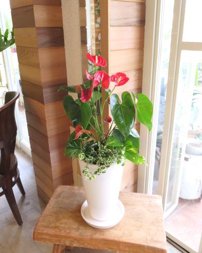 0286観葉植物ギフト~真っ赤なアンスリューム白鉢~