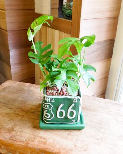 観葉植物ギフト モンステラ66(グリーン正方形鉢)≪商品番号0292≫