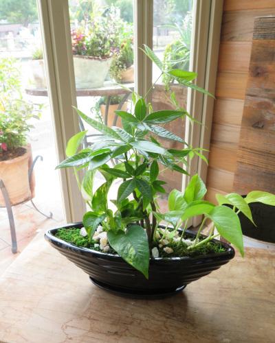 0309観葉植物ギフト パキラとポトスの黒船鉢