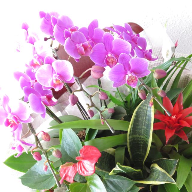 豪華!ミニ胡蝶蘭と観葉植物のバスケット【送料無料母の日ギフト】md029