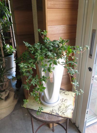 0322観葉植物ギフト シッサスガーランドのホワイトホール鉢