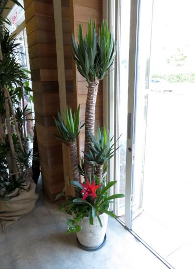 0323観葉植物ギフト ユッカの豪華な寄せ植え(軽量おしゃれ鉢使用)