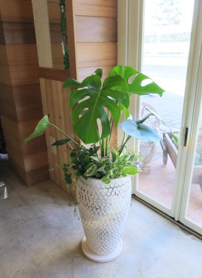 0174モンステラ ホワイトドット鉢◆観葉植物ギフト