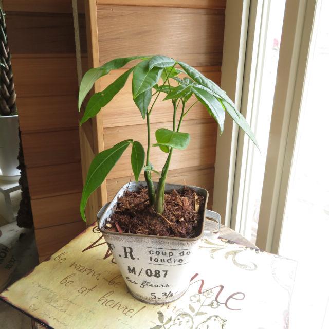 0328観葉植物ギフト パキラとアンティーク缶