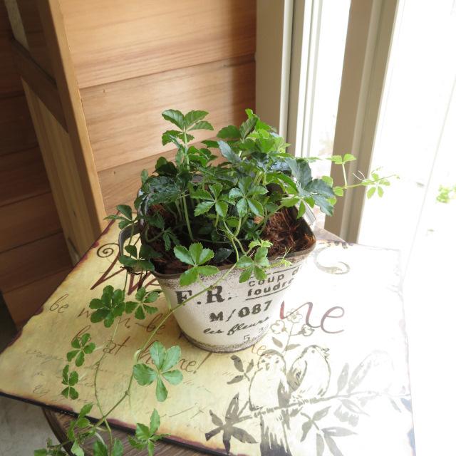 0330観葉植物ギフト シュガーバインとアンティーク缶