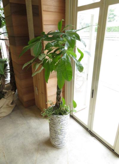 0332観葉植物ギフト パキラとアンティーク鉢