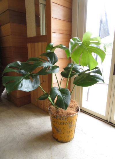 0336観葉植物ギフト モンステラ イエロー缶