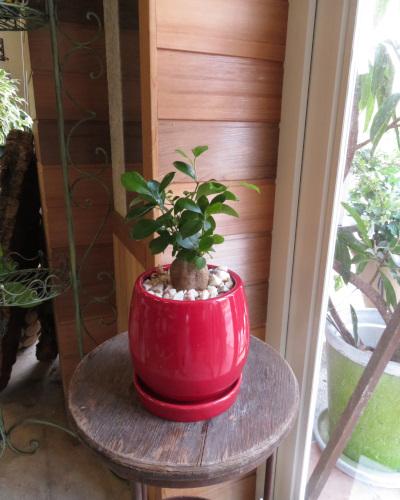 0342観葉植物ギフト 多幸の木ガジュマルとハッピーな赤鉢