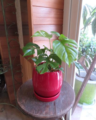 0341観葉植物ギフト すくすく育つ姫モンステラとハッピーな赤鉢