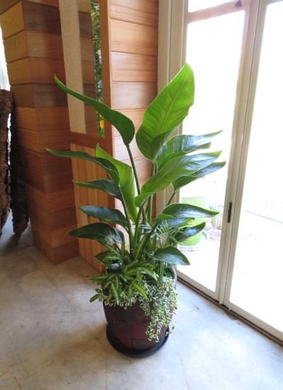 0357観葉植物ギフト オーガスタと格子柄鉢【大型商品】