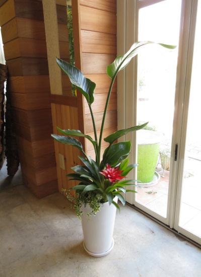 0359観葉植物ギフト オーガスタとハッピーな白鉢