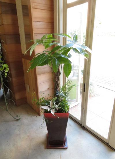 0364観葉植物ギフト パキラと渋い赤鉢
