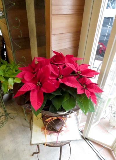 クリスマスの定番!【送料無料】ポインセチアラッピング