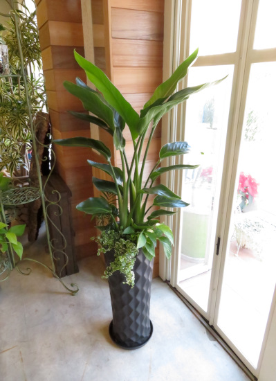 0366観葉植物ギフト オーガスタとダイヤブラック鉢【大型商品】