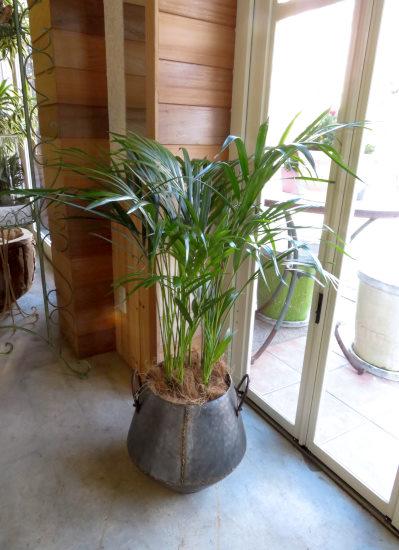 0369観葉植物ギフト アレカヤシとアンティーク風ブリキハンドルポット【大型商品】