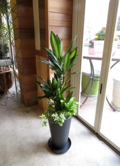 0367観葉植物ギフト ドラセナと黒鉢