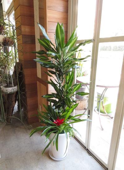 0396観葉植物ギフト ドラセナジェレ華やかな寄せ植え(大きいサイズ)【大型商品】