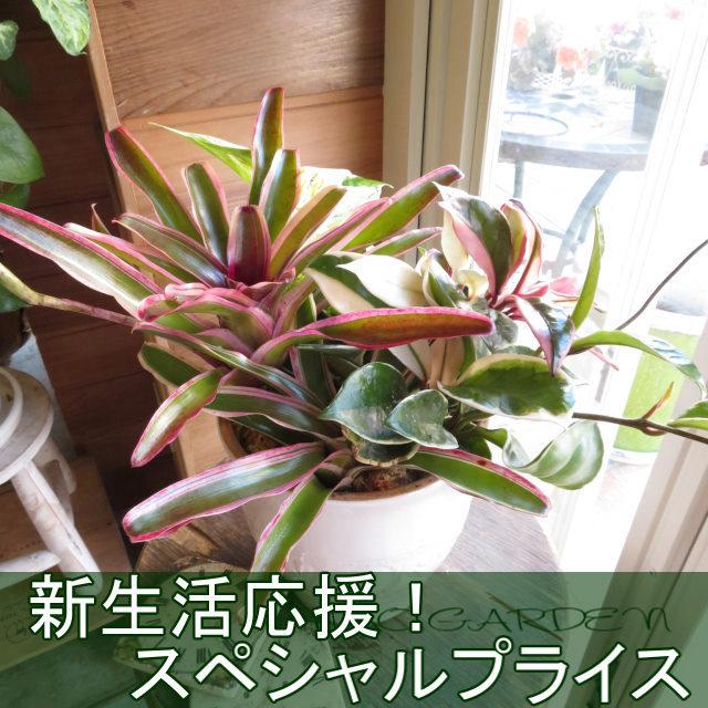 0403【新生活応援!スペシャルプライス】ミニ観葉植物おしゃれなインテリア鉢植え(ホワイト鉢)