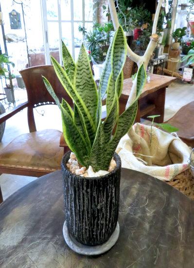 0405観葉植物ギフト サンスベリア オベリスク(黒)