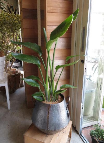 0410観葉植物ギフト オーガスタとアンティーク風ブリキハンドルポット
