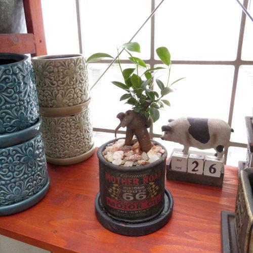 0414インテリア観葉植物ギフト ガジュマル66ブラック