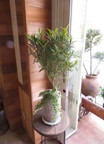 0413観葉植物ギフト サリシフォリア オベリスク(白)