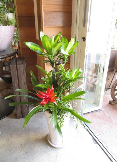 0416観葉植物ギフト 幸福の木と白鉢(ベーシックタイプ)