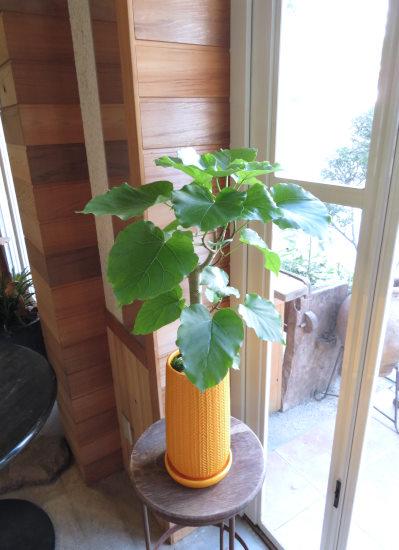 0421観葉植物ギフト ウンベラータ幸せのイエロー鉢