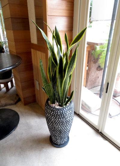 0426観葉植物ギフト サンスベリア ブラックドット