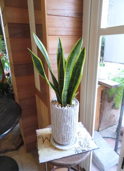 0427植物ギフト サンスベリア オベリスク(白)